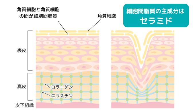 肌の断面図(細胞間脂質とセラミドについて)