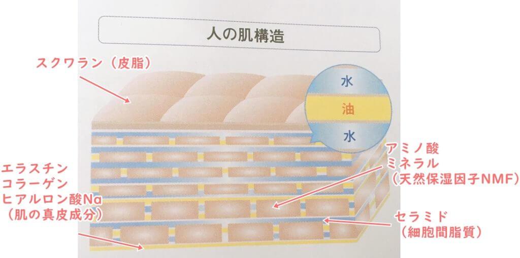 人間の肌の構造と成分